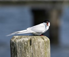 Gulp! (Jaedde & Sis) Tags: havterne artic tern beak fish swallow eating post pole food friendlychallenges