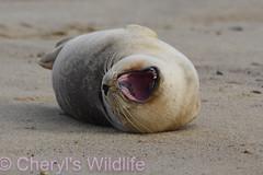(Cheryl's Wildlife) Tags: wildlife nature suffolk rspb birds 2018 birdwatching nikon sigma photography east eastanglia naturereserve wildlifetrust norfolk horsey seals