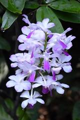 Orchids (Seventh Heaven Photography **) Tags: singapore national orchid garden nikon d3200 plants orchids