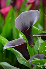Calla Lilies (Zantedeschia) (Seventh Heaven Photography **) Tags: 128th shrewsbury flower show flowers flora blooms purple nikon d3200 august 2015 calla lilies zantedeschia