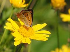 2018.10.07 ベニシジミ(紅小灰蝶:Lycaena phlaeas) (eriko_jpn) Tags: butterfly yellowflower chrysanthemum smallcopper lycaenaphlaeas