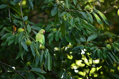 (Leela Channer) Tags: parakeet green bird nature animal chestnut tree richmondpark london england