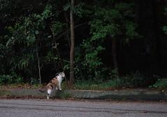 Gracie Jo's domain (rootcrop54) Tags: graciejo neighbor neighbors female dilute calico cat heryard neko macska kedi 猫 kočka kissa γάτα köttur kucing gatto 고양이 kaķis katė katt katze katzen kot кошка mačka gatos maček kitteh chat ネコ