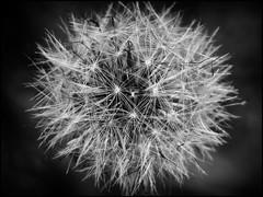 LIGHT! (Ageeth van Geest) Tags: natureisanartist smileonsaturday hypnotic nature bw blackandwhite monochrome canoneosm6 dandelion
