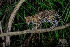 Ocelot (fascinationwildlife) Tags: animal mammal wild wildlife nature natur djungle night nocturnal ocelot ozelot feline elusive hide photography brazil brasilien south america südamerika pantanal
