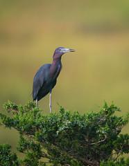 Little Blue Heron (nikunj.m.patel) Tags: nature heron bird birds naturephotography nikon migration summer littleblueheron