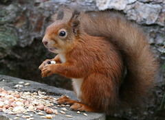 Red Squirrel (eric robb niven) Tags: ericrobbniven scotland redsquirrel wildlife nature dundee tentsmuir forest springwatch