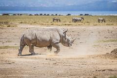 White Rhino, Lake Nakuru NP (Luis Granada) Tags: kenya nakuru whiterhino rhino wildlife rhinoceros whiterhinoceros southernwhiterhinoceros safari nationalpark lake lakenakuru lakenakurunationalpark canon wild nature animal zebra zebras rhinos