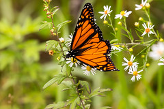7K8A7635 (rpealit) Tags: scenery wildlife nature weldon brook management area monarch butterfly