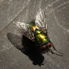 20181014_5907_7D2-100 Common Green Bottle (287/365) (johnstewartnz) Tags: 100mmmacro 100mmf28 canon7dmarkii commongreenbottlefly luciliasericata squarecrop 100mm 7d 7dmarkii 7d2 macro fly square 287365 day287 100mmf28lmacro onephotoaday oneaday onephotoaday2018 365project project365 canon canonapsc apsc eos canoneos7dmkii canoneos7dmarkii