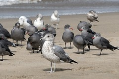Ring-billed gull (Larus delawarensis) with Heermann's gulls, South of San Francisco, California (peter.prokosch) Tags: ringbilledgull larusdelawarensis heermannsgull gulls bird pacific shore beach california san francisco usa