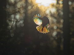 Willow tit and the rainbow effect of the wings. (RaijaV2010) Tags: purple rainboweffect light backlight colors flying wings willowtit