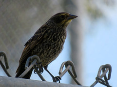 Red-winged Blackbird, female (S. California birds & other sights) Tags: bird blackbird redwingedblackbird