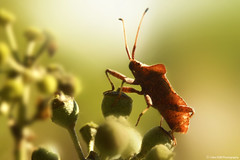 punaise (Clém VDB (TIOGRIS)) Tags: insect macro animal nature bugs