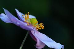 Lilac Japanese Anemone in Crescent Gardens, Gosport, Hampshire, UK (Art-G) Tags: flower lilac japaneseanemone naturalisedwildflower crescentgardens gosport hampshire uk canon eos7dmkii tamron90mmucvsd bokeh macro somethingfortheweekend sundaylights