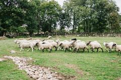 Annamoe (teahrushing) Tags: sheep farmer farming ireland annamoe travel travelphotography landscapephotography landscape