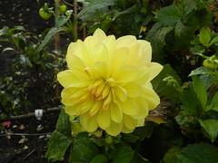 Dahlia, Botanic Gardens, Inverness, Oct 2018 (allanmaciver) Tags: dahlia flower yellow inverness highlands scotland bloom details allanmaciver