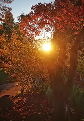 in love with fall (CNorthExplores) Tags: fall autumn trees tee leaves colors sunset outdoor outside nature light queenelizabethpark vancouver bc canada