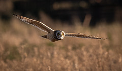 Short-eared Owl (Steve D'Cruze) Tags: bird owl asio flammeus nikon d500 sigma 150600mm nature wildlife photography sunlight eyes