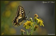 Per i prati in Autunno - Ottobre-2018 (Agostino D'Ascoli) Tags: farfalla fiori nikon nikkor cianciana sicilia agostinodascoli nature texture macro