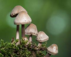 Helmlinge (3) (dr.klaustrumm) Tags: pilze helmlinge mycena wald natur holz diagonale focusbracketing