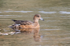 Wigeon (drbut) Tags: duck waterfowl water lakes animal bird birds wildlife nature canonef600f4lisusm anaspenelope wigeon