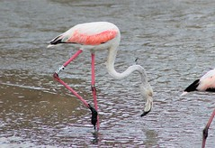 flamenco / european flamingo (jjulio2311) Tags: flamenco flamingo animal nature bird mud water lodo humedal wetland salinas laguna lagoon murcia spain
