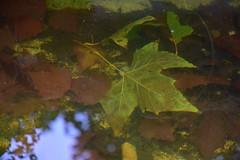 DSC_8677 (griecocathy) Tags: macro feuille platane reflet ciel brindille arbre marron vert bleu brun