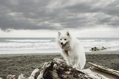 Gloomy Day at the Beach (KiwiMiriam) Tags: beach sand surf fujixseries xpro2 mirrorless newzealand blacksand dog white fluffy log japanesespitz
