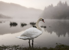 Pause to Pose (Tracey Whitefoot) Tags: 2018 tracey whitefoot october autumn fall misty morning lake district lakes cumbria national park swan bird posed pose posing derwent water keswick derwentwater shore bank