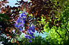 June in the Garden (Mark Wordy) Tags: mygarden summer flowers delphinium tiddles cotinus smokebush