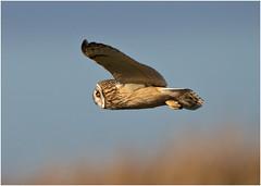 Short eared Owl (Antony Ward) Tags: shortearedowl birdsinflight wildbirds wildowl owls northeastengland