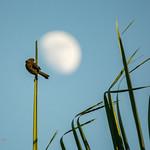 Ave, atardecer y luna // Bird, sunset, moon thumbnail