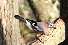Jay (WiltsWildAboutBirds) Tags: canon birdsofbritain britishbirds woodland aves wiltswil eurasianjay garrulusglandarius log jay naturereserve countrypark wiltshirebirds swindon coatewater