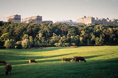 Ruhr-Universität (Nilfisk) Tags: wiese olympus pentax e5 kühe agfa uni universität bochum 35sp 100 k01 ctprecisa