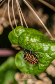 Lined shield bug on a plant