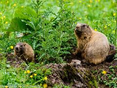 Alpine Marmots (xrxss15) Tags: alpenmurmeltier alpinemarmot animalia animals badhindelang bayern engeratsgundhof europe germany mammals marmotamarmota sciuridae squirrelschipmunksmarmotsprairiedogs säugetiere tiere