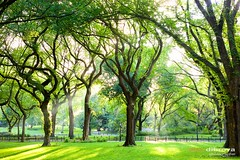 American Elms in Central Park (Dibrova) Tags: centralpark newyork manhattan elm trees mall themall walkway path sunbeam park sunlight american america green landscape leaves grass foliage unitedstates garden landmark nature new ny nyc outdoors usa water york forest wood