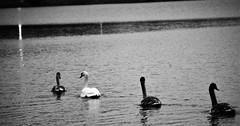 IMG_0311 (www.ilkkajukarainen.fi) Tags: suomi töölönlahti swan joutsen lintue poikue poikaset luonto nature helsinki finland finlande happy life travel travelling finlade eu europa scandinavia blackandwhite mustavalkoinen