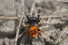 Araña Mariquita (Eresus Sandaliatus) (pinusylvestris) Tags: bichos sierra de guadarrama madrid cercedilla naturaleza araña aracnido eresus sandaliatus macro macrophotography