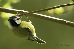 Blue Tit (Cyanistes caeruleus) (Baldyal) Tags: bird passerine wildlife tree branch venuspool shropshire