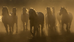 (Peter MacCallum-Stewart) Tags: thecamargue whitehorses wild therhonedelta dust drought