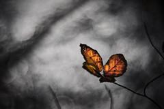 """The fake butterfly"" (micke.vmix) Tags: d500 carlzeiss zeiss planart1450"