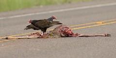 2018-09-26 Texas Road Kill (JanetandPhil) Tags: 20180910artxaznmvacation birds nikon nikkor d800 800mmf56 westtexas turkeyvulture cathartesaura roadkill deer