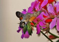 Taubenschwänzchen (Hugo von Schreck) Tags: hugovonschreck taubenschwänzchen macroglossumstellatarum hummingbirdhawkmoth macro makro insect insekt canoneos5dsr buzznbugz