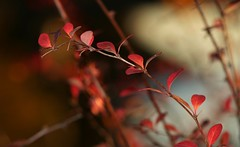 autumn image 2 (EllaH52) Tags: autumn branches twigs leaves red bokeh macro minimalism light shadows