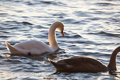 IMG_7869 (pekka.jarvelainen) Tags: joutsen swan vene auringonlasku sunset