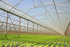 Greenery (chriskatsie) Tags: agriculture vegetal salad salade vert serres nursery greenhouse plante rangée cathedrale