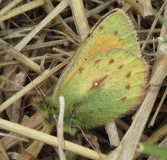 Colias (Birdernaturalist) Tags: bolivia butterfly coliadinae lepidoptera pieridae richhoyer