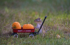 The pumpkin growing contest (WhiteEye2) Tags: chipmunk pumpkins contest growing pumpkin fall autumn cute adorable funny
